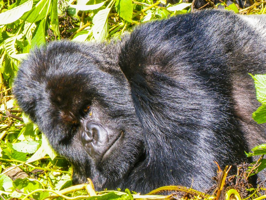Gorilla trekking in the Parc National des Volcans, Rawanda
