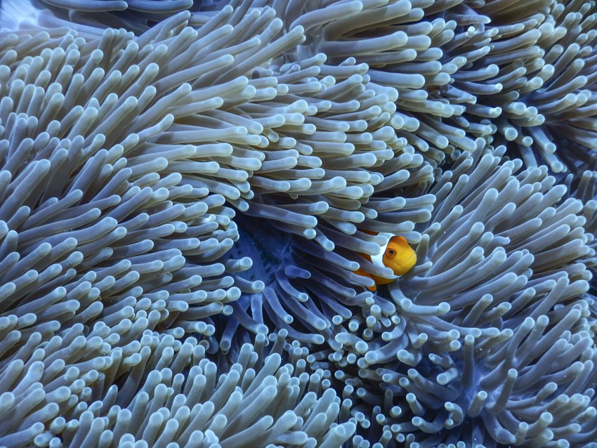 A clown fish! in Gili Trawangan