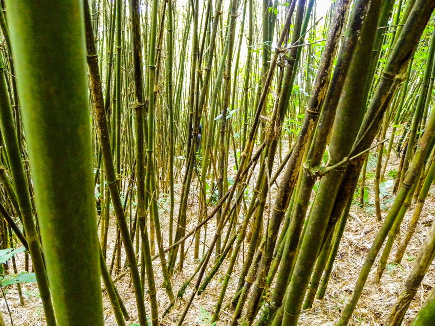 bamboo jungle, gorilla trekking